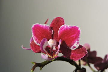 A purple, violet, pink, red orchid