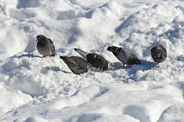 pigeons look for food in deep snow