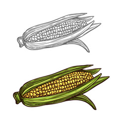 Corn cob vector sketch vegetable icon