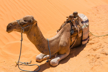 Dromedar liegt im Sand