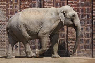 Indian elephant (Elephas maximus indicus)