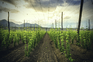 Organic plantation of hops in the sunset.