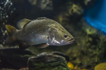 Silver perch in fresh water aquarium