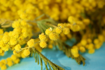 Branches of mimosa flowers with water drops on blue table