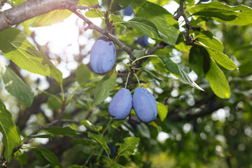 plum, ripe, on the branches, garden, fruit, summer, harvest, Agriculture