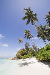 Palm trees lean over white sand, under a blue sky, on Bandos Island in The Maldives, Indian Ocean, Asia