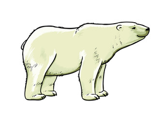 Polar bear vector drawing illustration.
