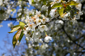 Cherry tree blossom detail in the spring time