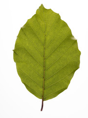beech leaf white background