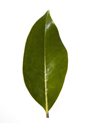 magnolia leaf on white background