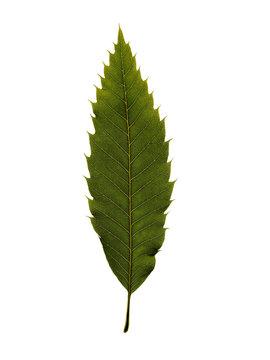 chestnut leaf on white background