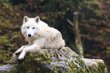 Fotorollo Wolf White wolf in the forest