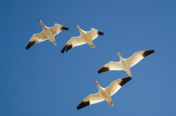 Wall Mural - Flock of Snow Geese Flying in a Blue Sky