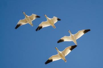Fototapete - Flock of Snow Geese Flying in a Blue Sky