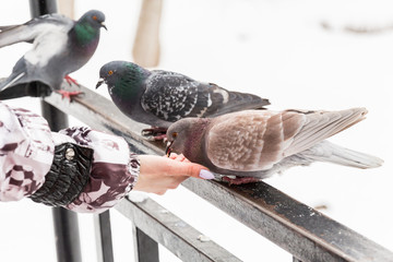 Feeding doves with their fingertips. Winter day in the city Park.