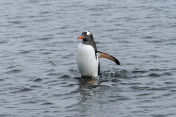 Gentoo penguin going from sea