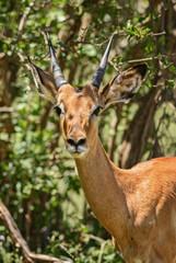 Impala - Aepyceros melampus, small fast antelope from African savanna, Tsavo National Park and Taita hills reserve, Kenya.