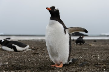 Gentoo penguin on beach