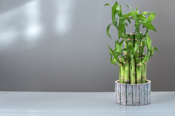 "indoor plant ""bamboo of happiness"" on a white table"