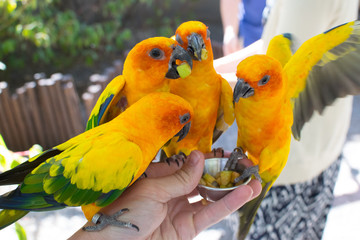 Sun conures at feeding time
