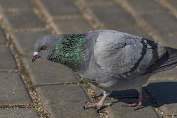 Pigeons on pavement in center square in Ceske Budejovice
