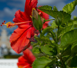 A beautiful, bright, gorgeous large red hibiscus in flower in a natural tropical environment.