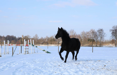 Beautiful Horse running in the snow in field