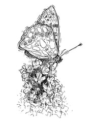 Vector artistic pen and ink hand drawing illustration of butterfly feeding on buddleja davidii bush.