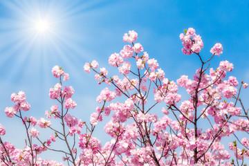 Rosa Kirschblüte bei Sonnenschein im Frühling