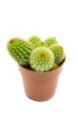 Kaktus  isoliert freigestellt auf weißen Hintergrund, Freisteller