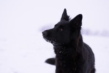 German Shepherd Portrait