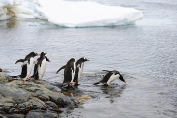 Gentoo penguins going to sea