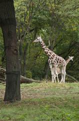 African Giraffe in forest