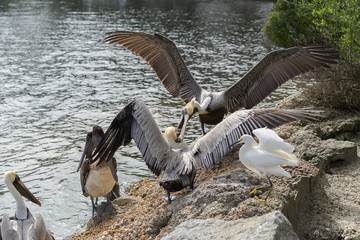 Pelican Grabbing Another By its Beak