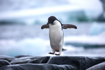 Fond de hotte en verre imprimé Pingouin An antarctic Adelie penguin jumping between the rocks
