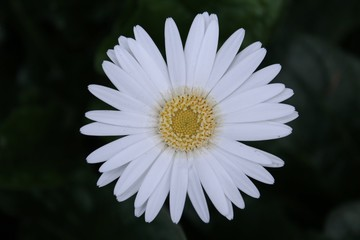 SINGLE DAISY BLOOM