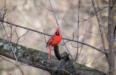 Cardinal on a Stick 2