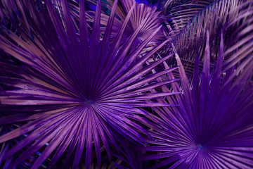 Wall Mural - close up purple Tropical big palm leaves in exotic country Thailand Landscape Holiday. concept of foreign background, summer plants or nature and travel