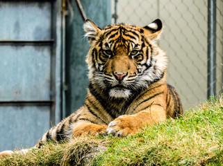 Malosi - Tiger