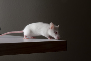 White mouse sniffing corner of desk for food