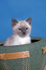 Cute Siamese Kitten, eight week,  sitting in clay pot.