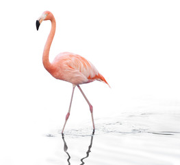 In de dag Flamingo one adult pink flamingo walking on water