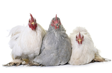 pekin chicken in studio