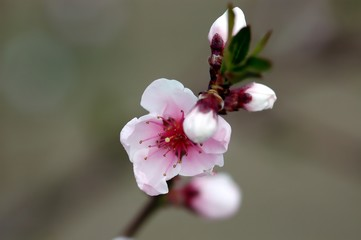 Cherry blossom in spring, light pink, close-up, detail, with dark leaves