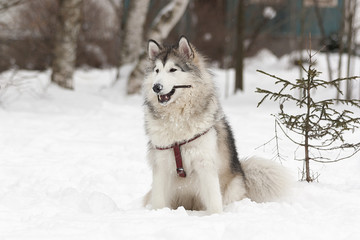 Собака сидит на снегу рядом с елкой. Собака держит палку в зубах