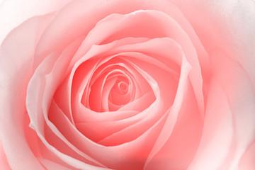 macro of a rose flower