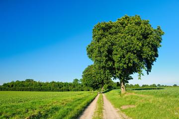 Wall Mural - Feldweg mit Bäumen durch grüne Felder, blauer Himmel