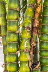 bambou ventre de bouddha, Bambusa Ventricosa