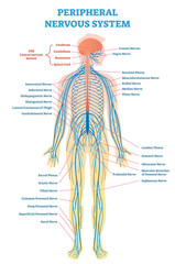 Peripheral nervous system, medical vector illustration diagram with full body nerve scheme.
