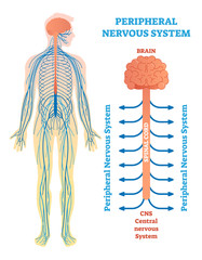 Peripheral nervous system, medical vector illustration diagram with brain, spinal cord and nerves.